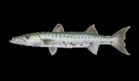 barracuda-grande