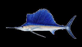sailfish-pez vela