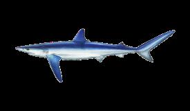 shark-blue-tiburon azul