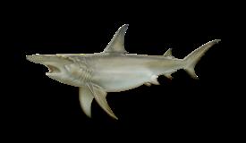 shark-hammerhead-tiburon martillo