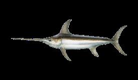 swordfish-pez espada